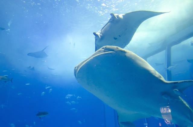美ら海水族館の混雑状況やイルカショー、レストラン、駐車場の渋滞混み具合